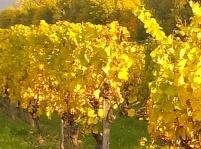 Herbstlaub im Rheingau - Rheingauer Weine