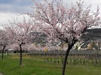 Die Mandelblüte an der Strasse nach Hallgarten